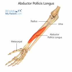 Abductor Pollicis Longus (hand)