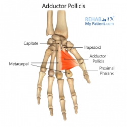 Adductor Pollicis (hand)