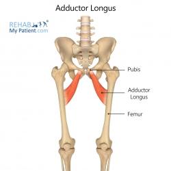 Adductor Longus