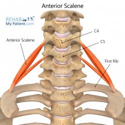 Anterior Scalene (Scalenus Anticus)