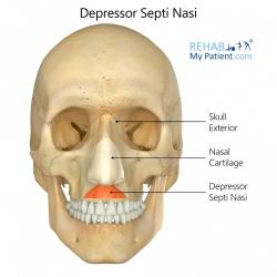 Depressor Septi Nasi