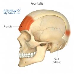 Frontalis