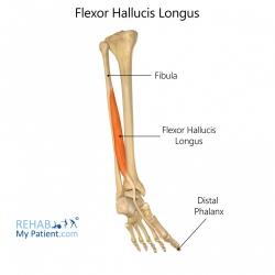 Flexor Hallucis Longus (leg)