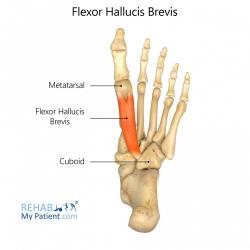 Flexor Hallucis Brevis