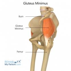 Gluteus Minimus