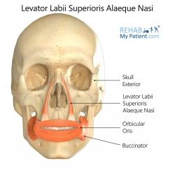Levator Labii Superioris Alaeque Nasi