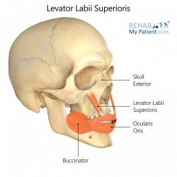 Levator Labii Superioris
