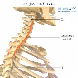 Longissimus Cervicis