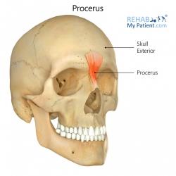 Procerus