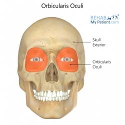 Orbicularis Oculi