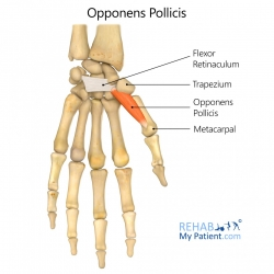 Opponens Pollicis
