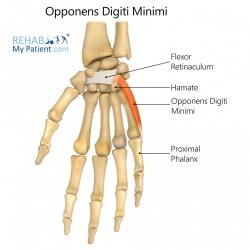 Opponens Digiti Minimi (hand)
