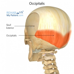 Occipitalis (head)