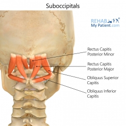Suboccipitals