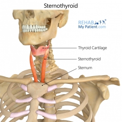Sternothyroid