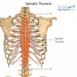 Spinalis Thoracis