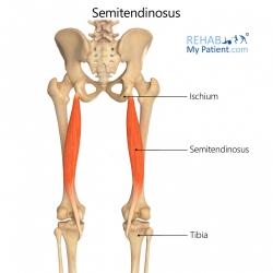 Semitendinosus