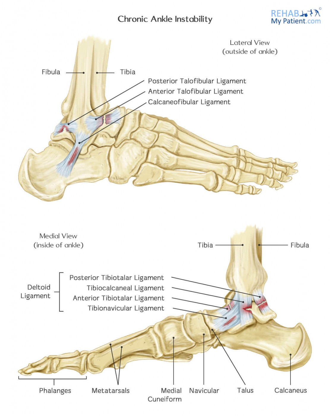 Deltoid ligament anatomy