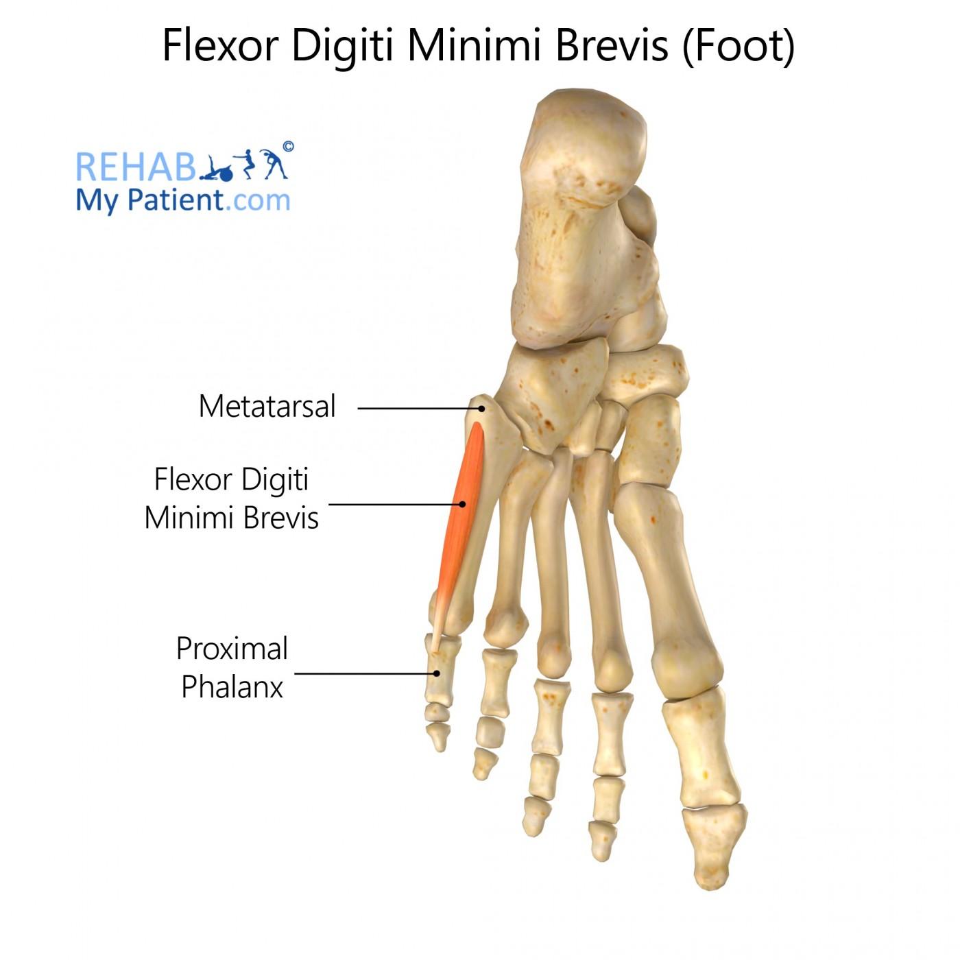 Flexor Digiti Minimi Brevis (foot)