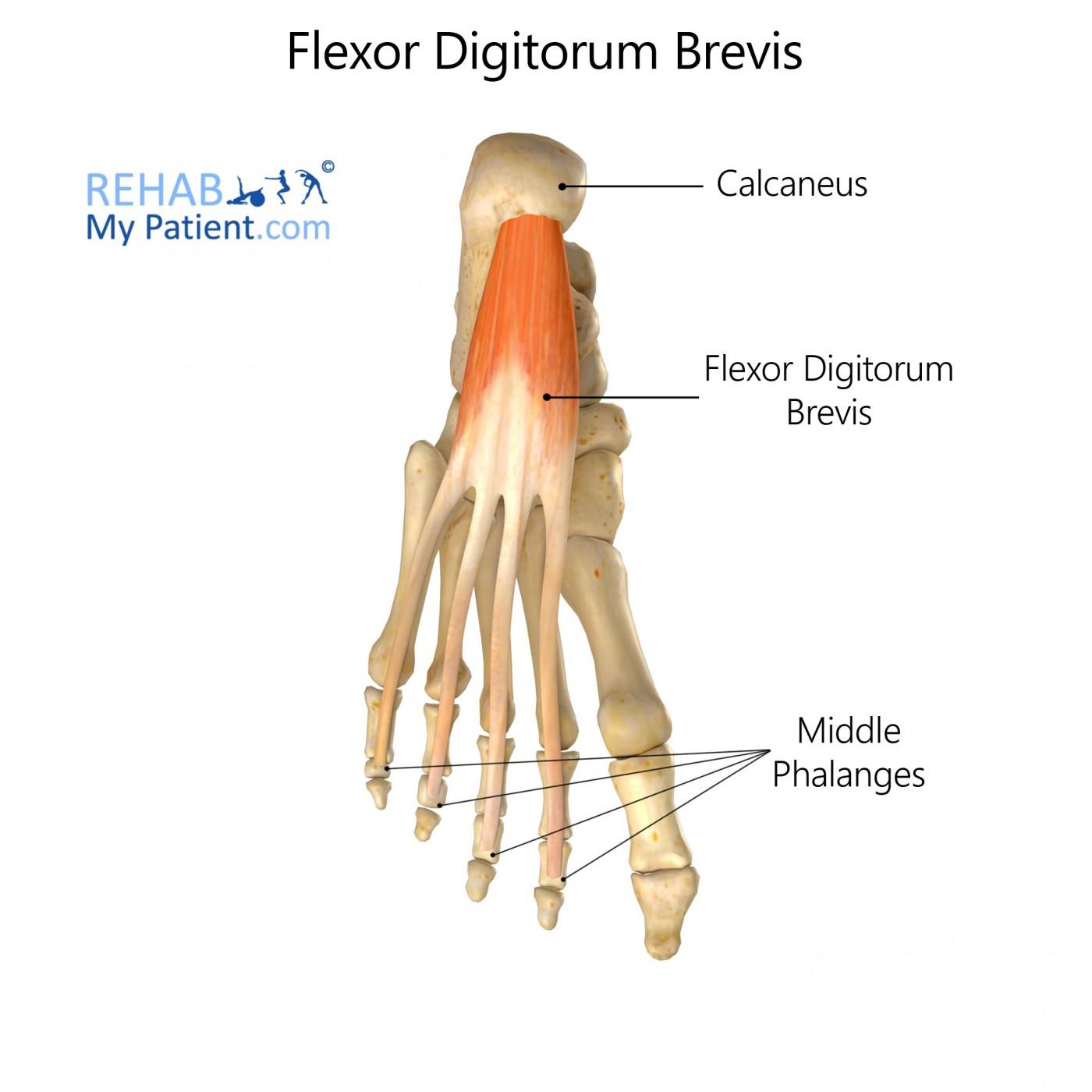 Flexor Digitorum Brevis