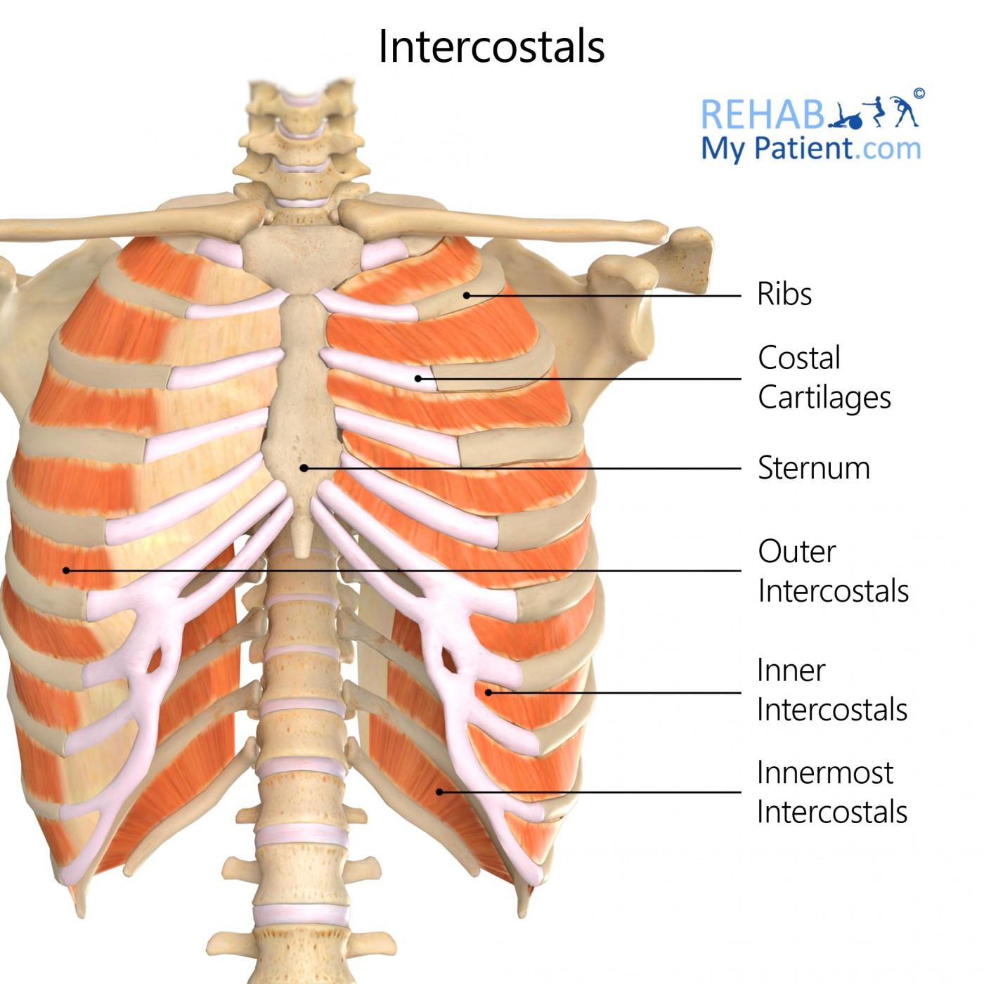 intercostals