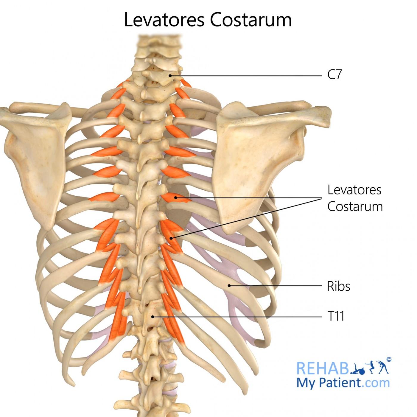 Levatores Costarum