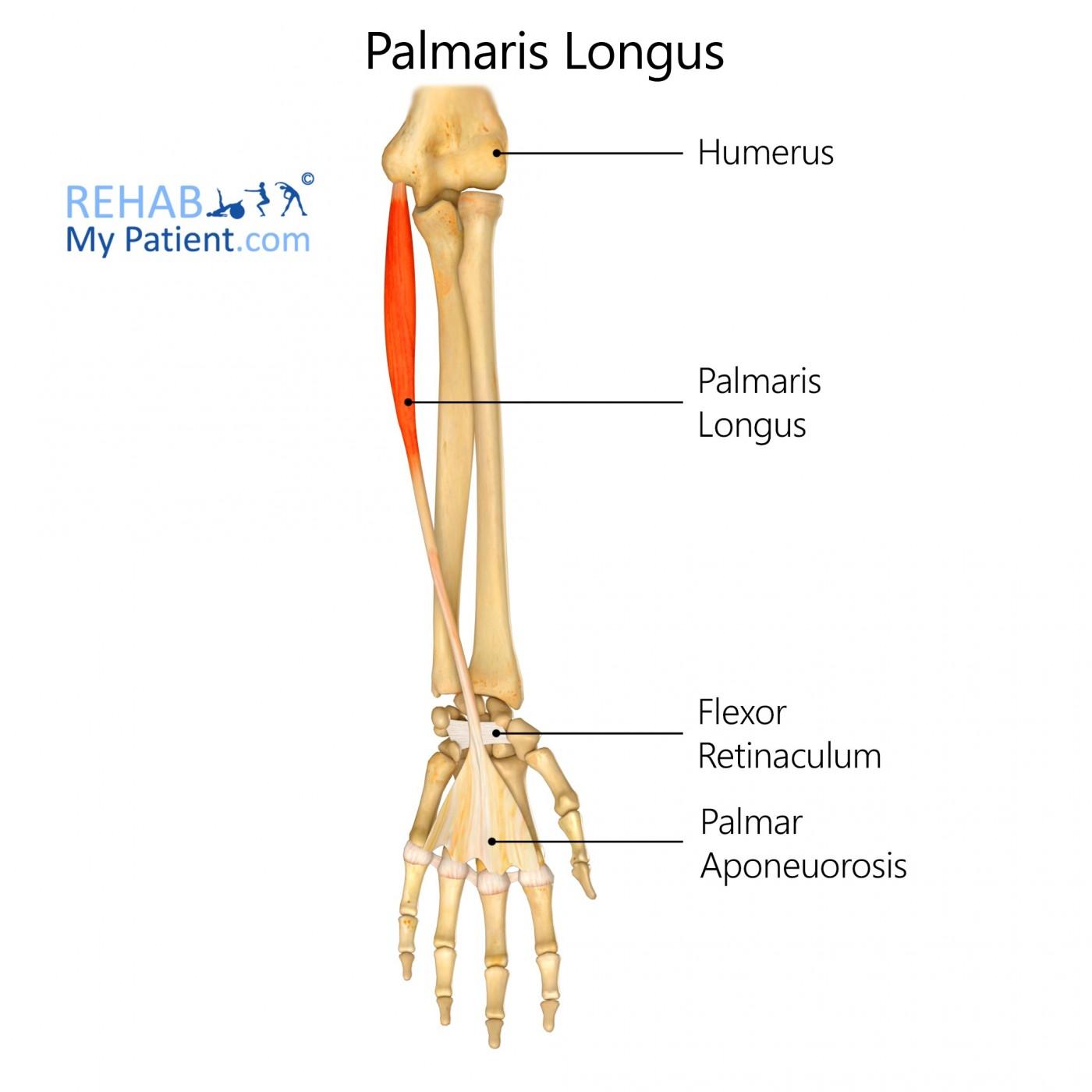 Palmaris Longus