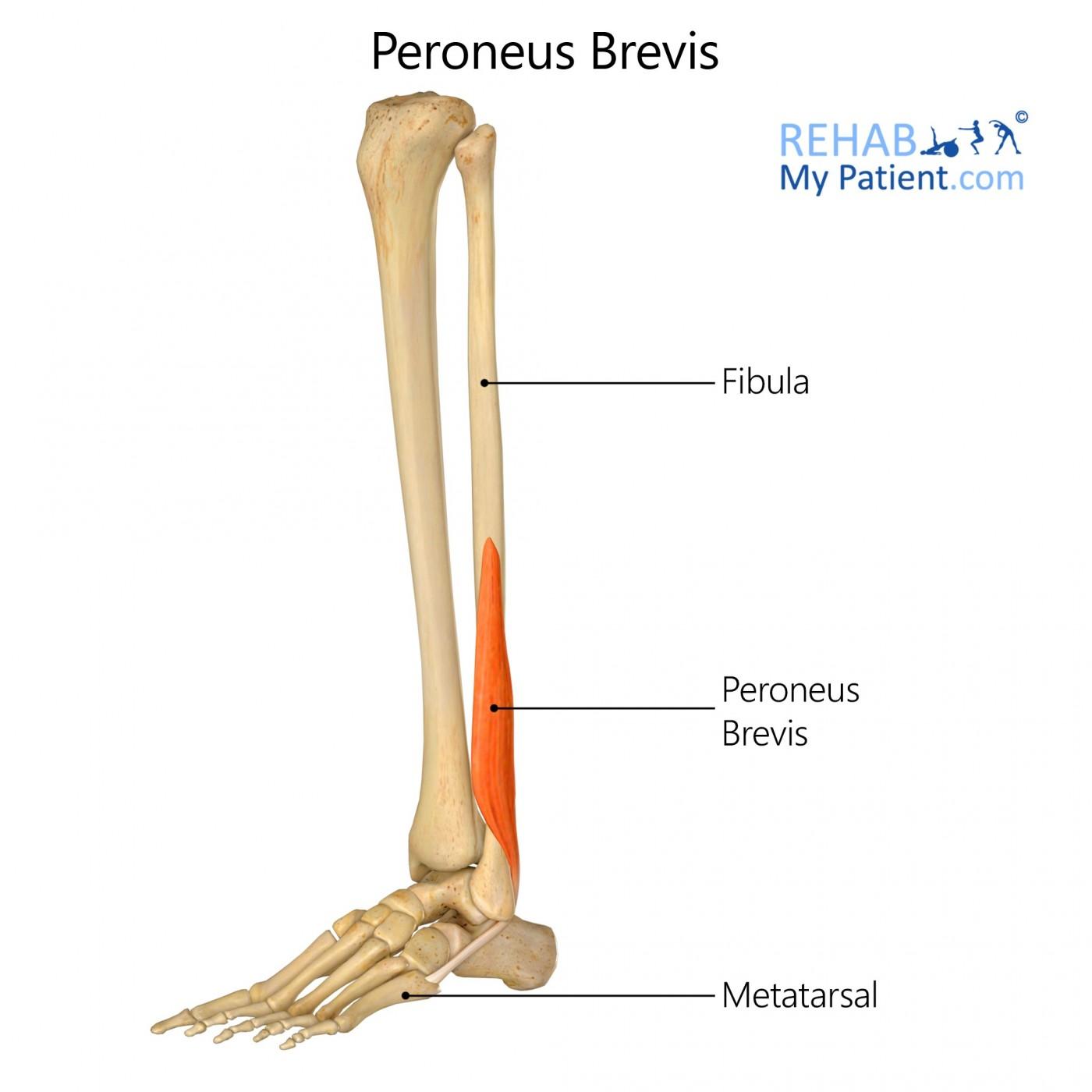 Peroneus Brevis