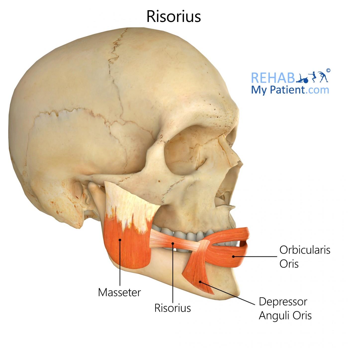 Risorius