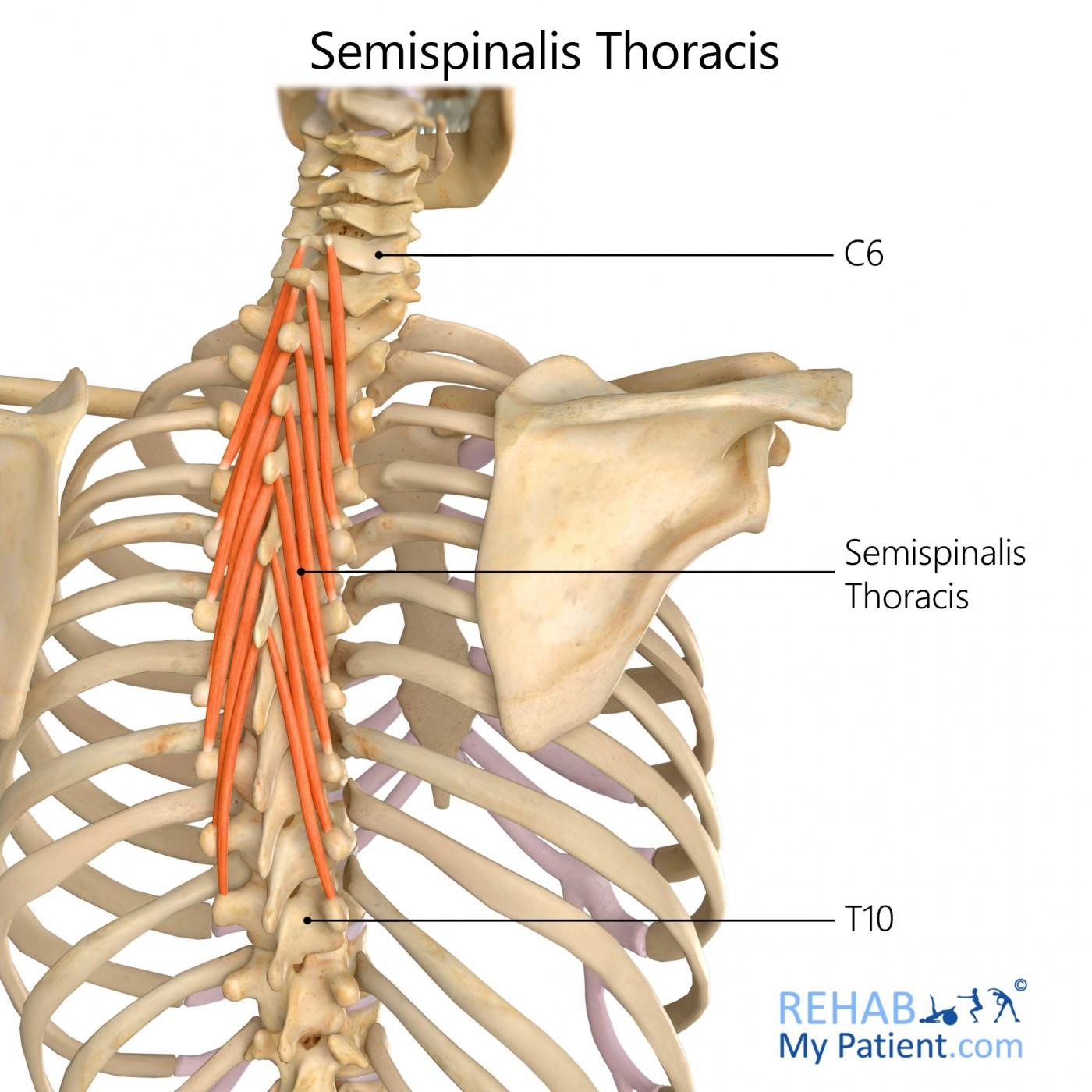 Semispinalis Thoracis