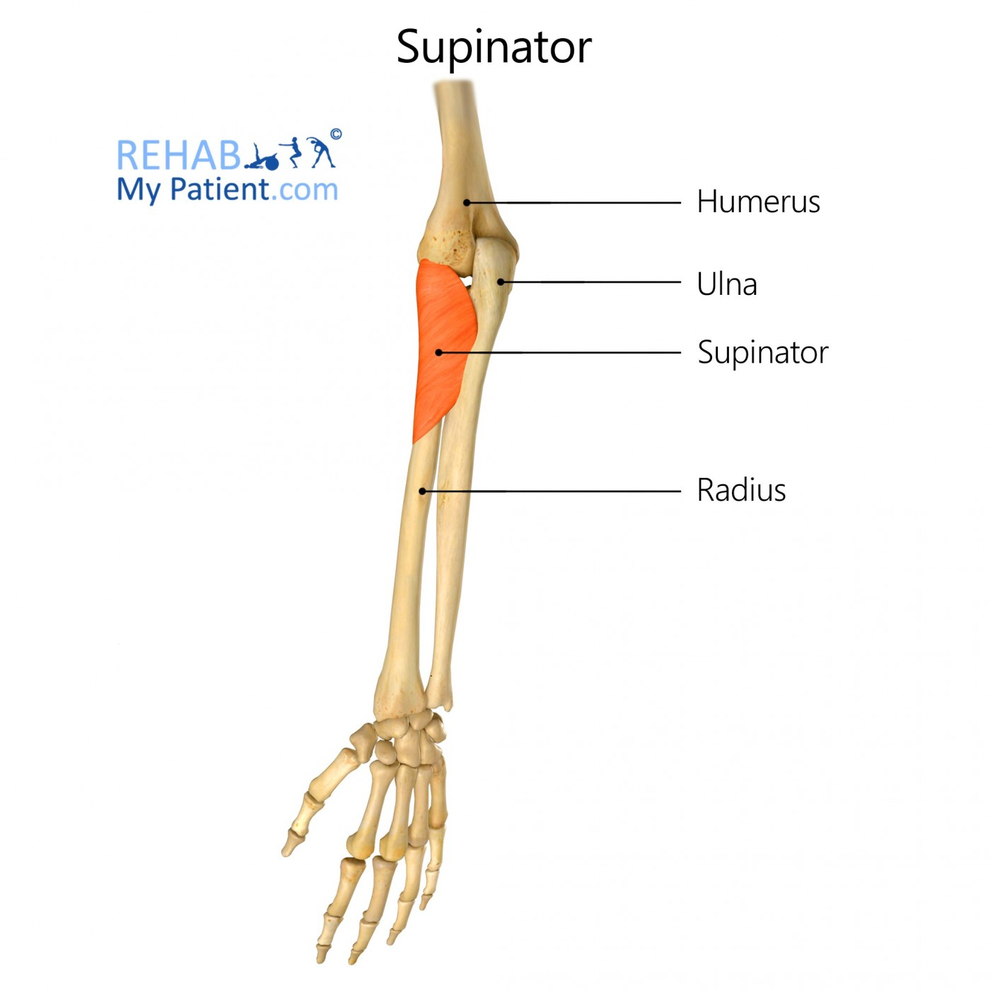 Supinator