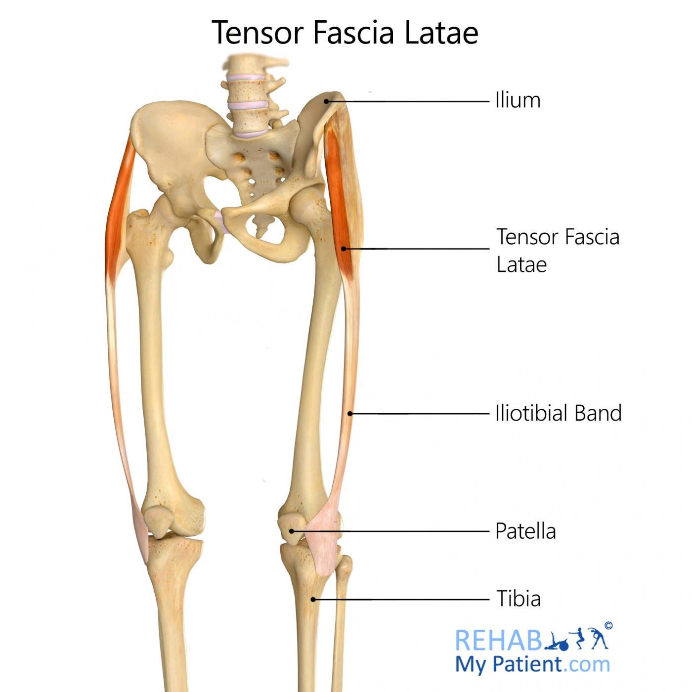Tensor Fascia Latae