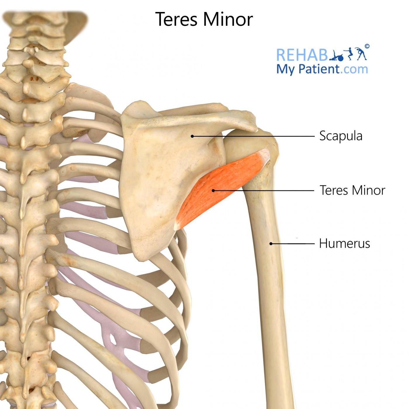 Teres Minor