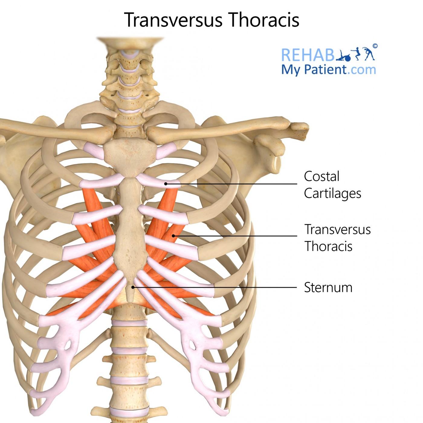 transversus thoracis