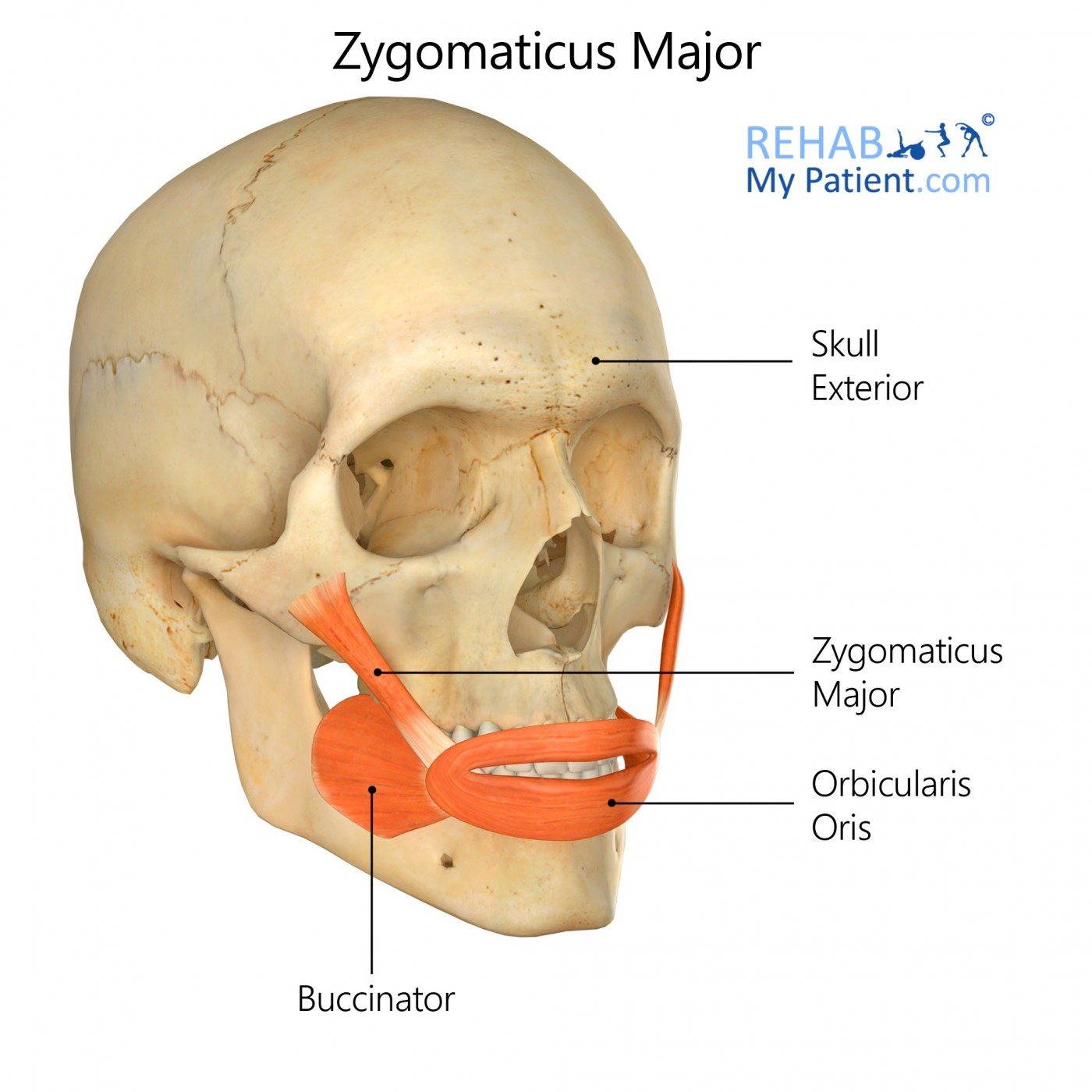 Zygomaticus Major