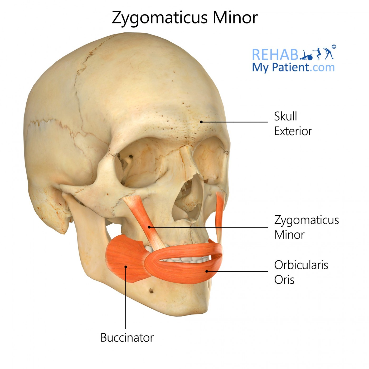 Zygomaticus Minor